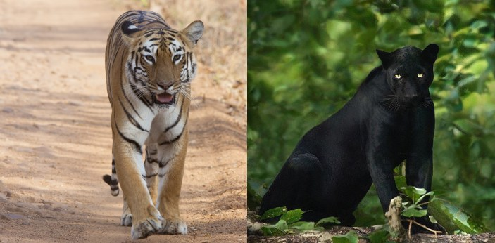 Tigers are larger than panthers, and the tigers weigh in between 110-300kg. Panthers weigh