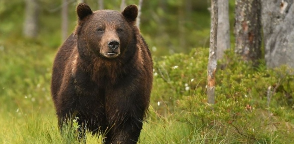 What species of bears are at risk of extirpation?