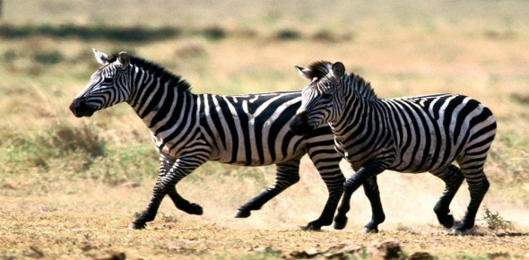 Unlike their closest relatives, horses and donkeys, zebras are not pack animals. Zebras are social