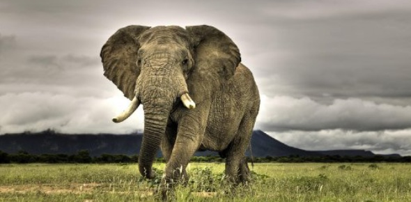 We need to care for African elephants, and why is clear, it is because they are fast becoming an