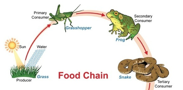 Why are food chains limited to 4-5 tropic levels?<br/>
