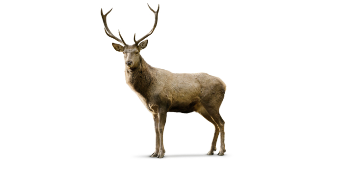 Elk and caribou are both members of the deer family. The elk is a large-bodied deer species that