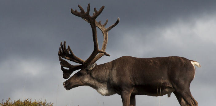 People can look at the elk and caribou and wonder why and how they are different from each other.