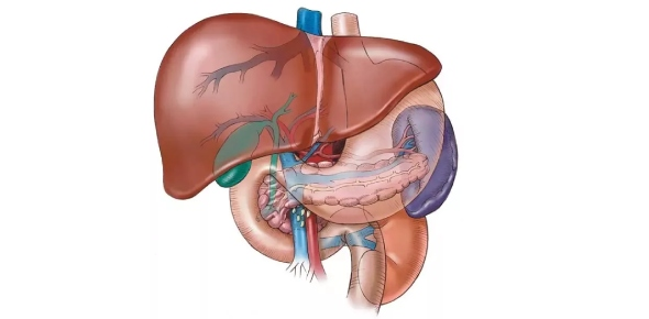 Why is liver called the largest gland in our body?