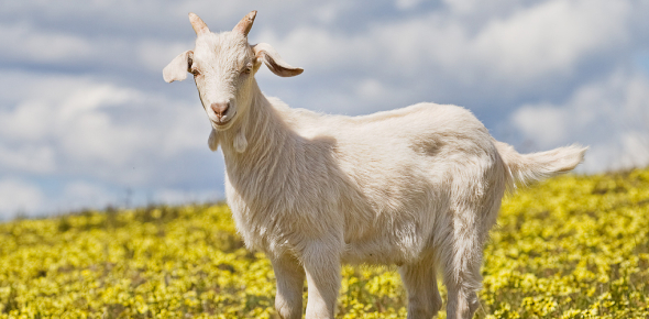 New research has indicated that goats are intelligent animals. They live in complex social groups,
