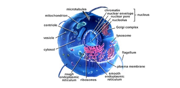 Which part of the cell is responsible for breaking down used organelles and essentially digesting substances?
