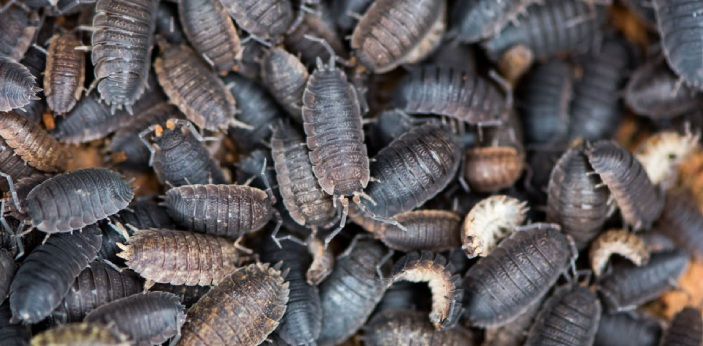 Woodlice bugs, also known as a pill bug or roly poly bug, is a small insect with a long exoskeleton