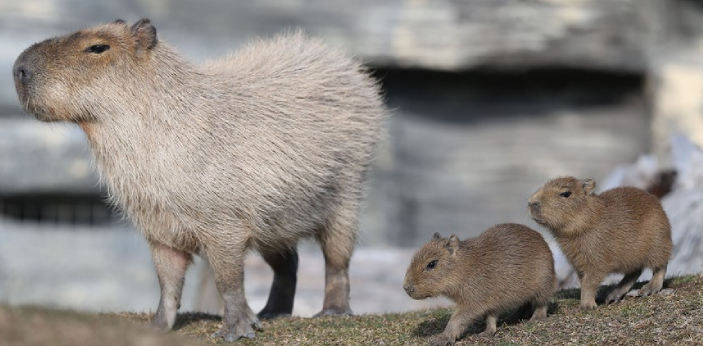 Animals are friendly to Capybaras because they are social animals. They enjoy interaction and