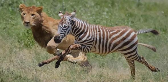 Which animals hunt zebras?