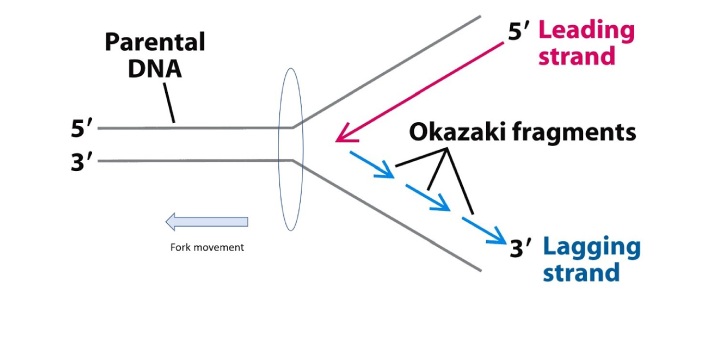 Okazaki fragments and lagging strands are terms in DNA replication. These two terms are not in any