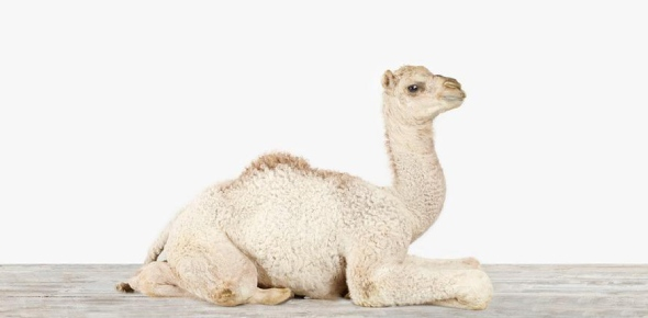 A baby camel is often called a calf. Camels are often recognized by the humps on their backs. There