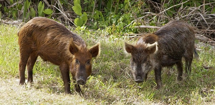 There are some differences between a hog and a pig, although many might not know because both words