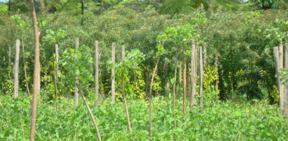 Some people become confused with the differences between agroforestry and intercropping. They think