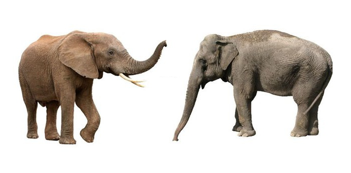 African and Asian elephants may look similar in the beginning but the more that you look at them,