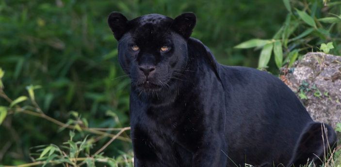 The panther is a large cat with black fur, and they are a rare breed. Mountain lions are large