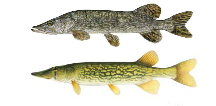 Are you familiar with what a pike and a pickerel are? These are two types of fish that may be