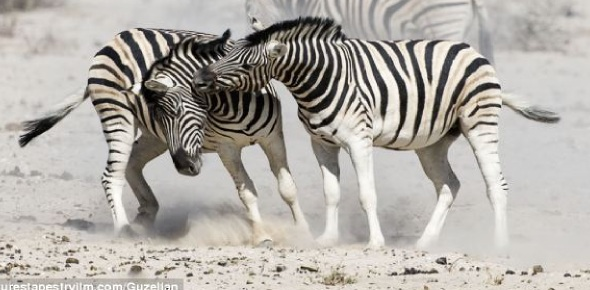 Are zebras pack animals?