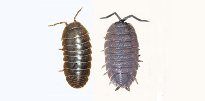 Pill Bugs and Sow Bugs are types of pests that look very similar, but they are not totally the