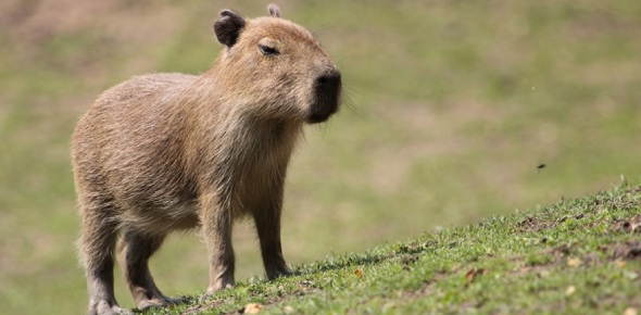 Why are animals so friendly to capybaras?