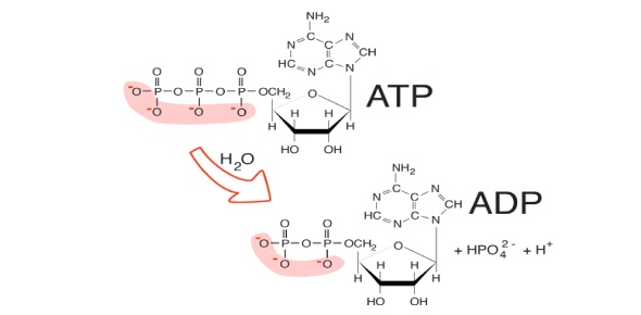 Which of the following is the best explanation for this observation? When 10,000 molecules of ATP are hydrolyzed to ADP and Pi in a test tube, about twice as much heat is liberated as when a cell hydrolyzes the same amount of ATP.