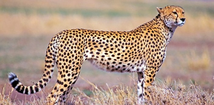 There are many reasons why cheetahs are the fastest animals in the world. They can go from 0 to 60