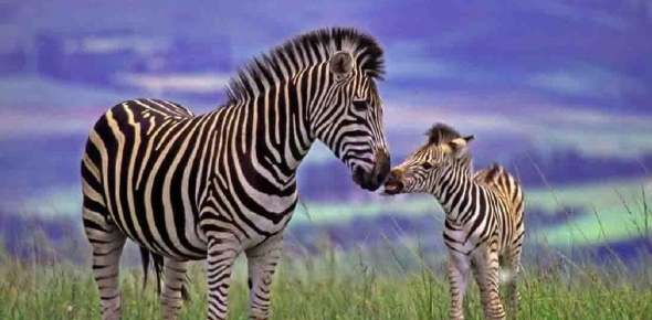 Many people have tried to domesticate zebras but their effort has not been fruitful. It is