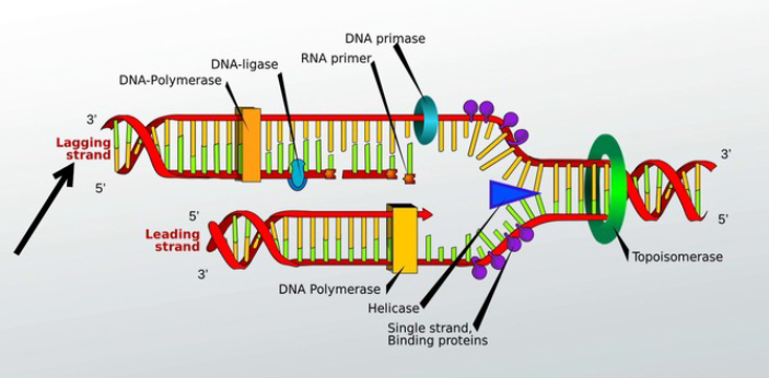 The leading strand and lagging strand are the two types of DNA strands. The leading strand is the