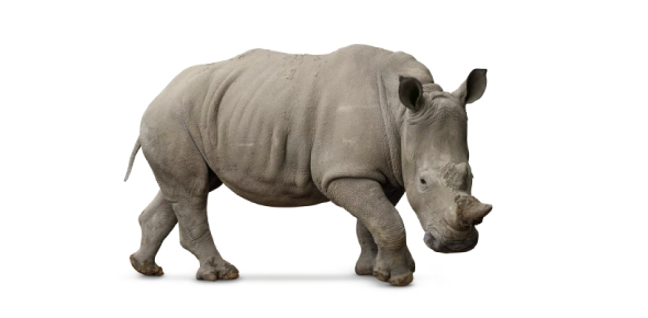 Why couldn't the White Rhino be saved from extinction?
