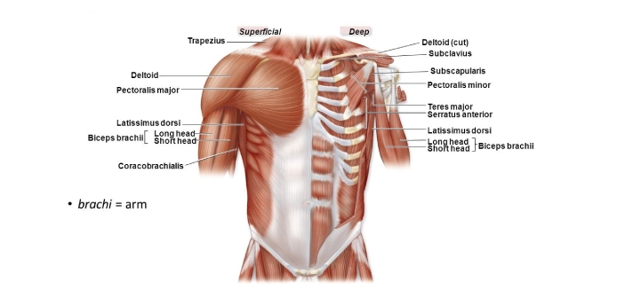 The deltoid muscle can be found on the bottom part of the shoulder. It looks rounded. Many people