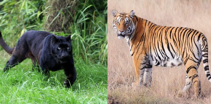 Tigers and Panthers are both animals, but they have some differences. Both are actually in the cat