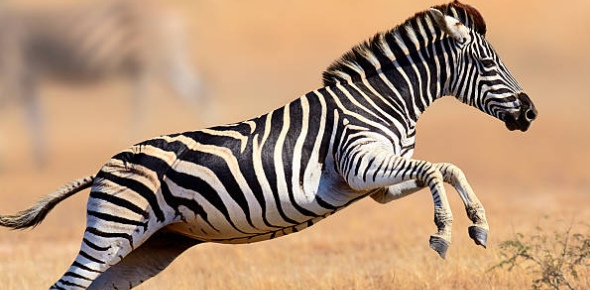 Zebras are known to be smaller than horses. For the most part, they may vary in size to other