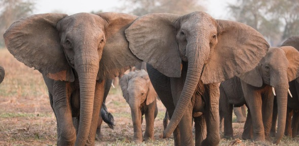 How do elephants adapt to their environment?