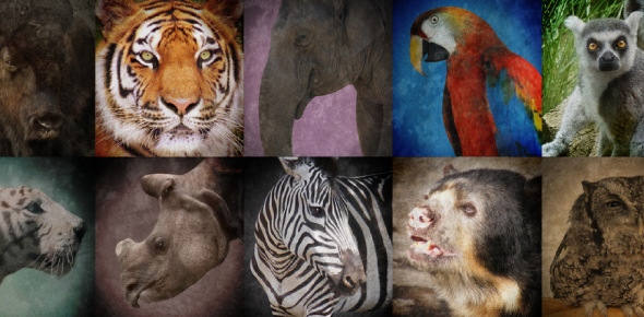 What are the ways endangered animals are being conserved?