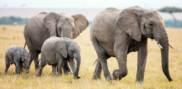 For one difference, African elephants have much bigger ears than Asian elephants do, and the very