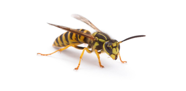 Some people are confused about bees and yellow jackets because they seem to look the same.