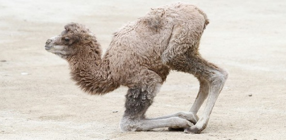 The answer is Calf.  It's funny how a baby camel is called a calf. A male camel may also be
