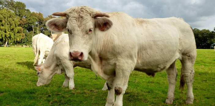 Although a bull and an ox might look very similar since both refer to male cattle, however, there