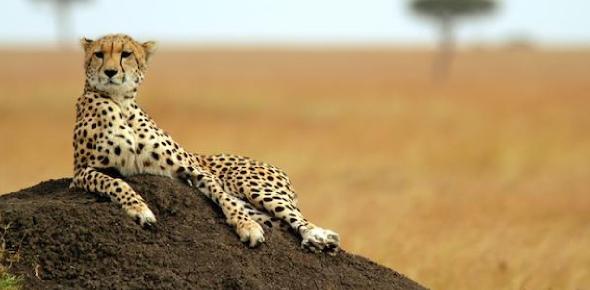 Do cheetahs hunt lion cubs?