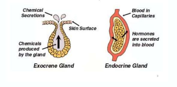 The endocrine system is composed of a plethora of glands, and there are two kinds of glands in the