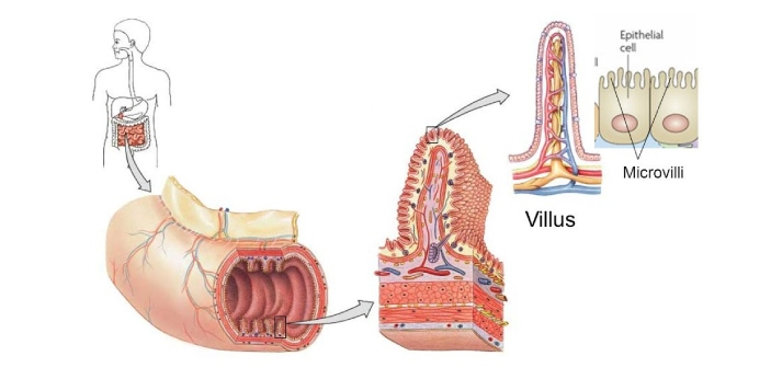 Villi and microvilli are both found in the human body. The fact that the word 'villi' is