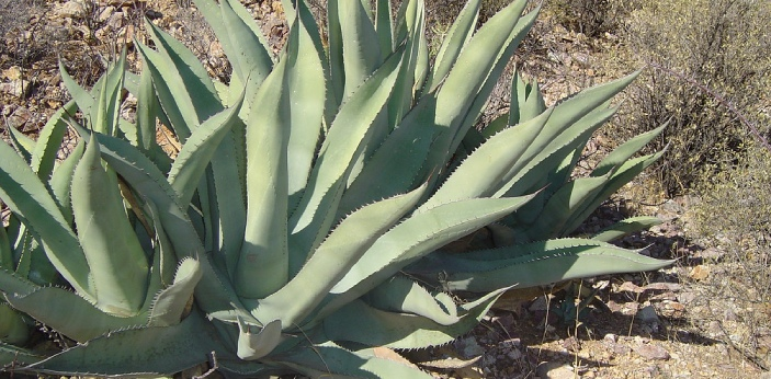 Agave is a plant that belongs to the family of Asparagaceae, and it has over 208 different spices.