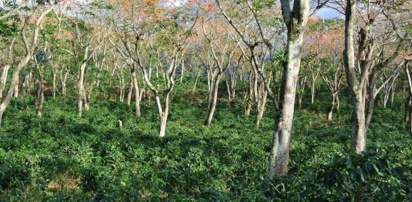 The benefits of agroforestry are widely accepted but enthusiasm is for third world countries and