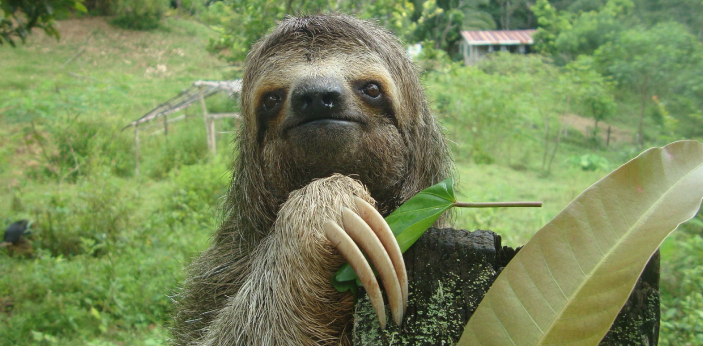 Three-toed sloths are the slowest creatures in the world, and they are native to America. They