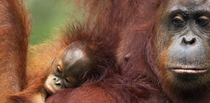 Orangutan All great apes are known to have great intellectual capacity. Orangutans stand because