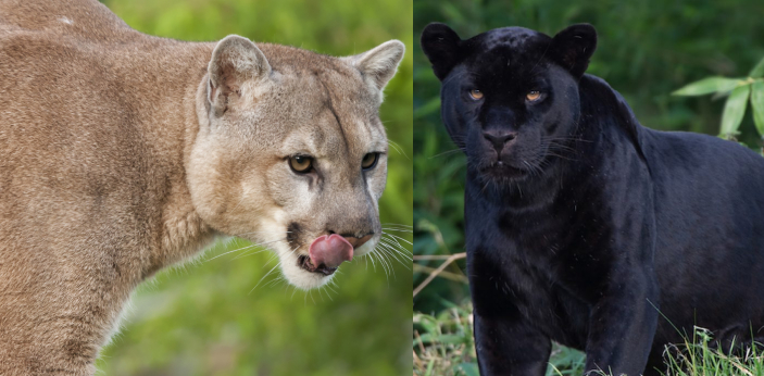 Mountain lions and panthers, both are extremely fascinating carnivores of the Family: Felidae.