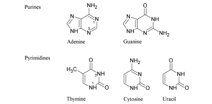 Purines and pyrimidine are nitrogenous bases found in DNA and RNA. They may be similar, but they