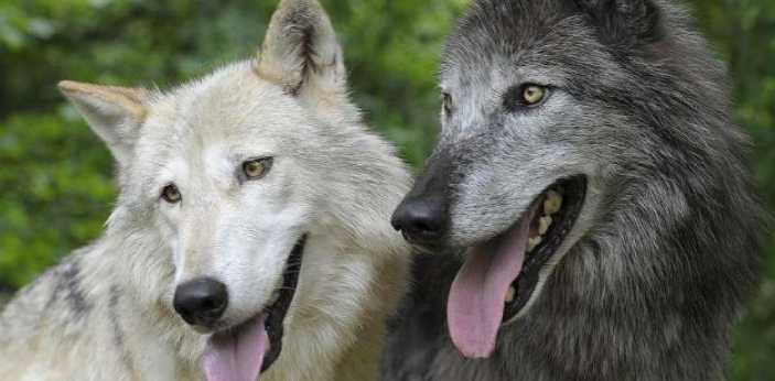 Wolves and Dogs have many similarities because of their looks. However, they also have many
