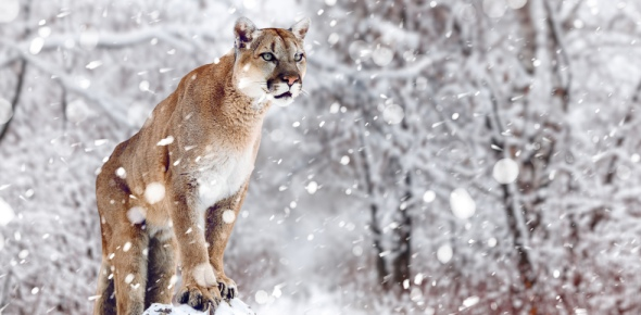 What is the difference between a panther and a mountain lion?