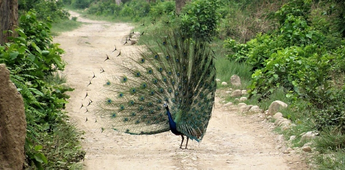 Peacock dance in the rain to attract a female partner.The male peacock open its feathers in the