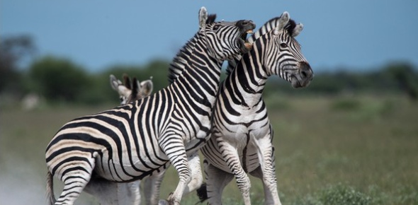 It would depend on the type of zebra that you want to check. The mountain zebra is about 2.4 meters